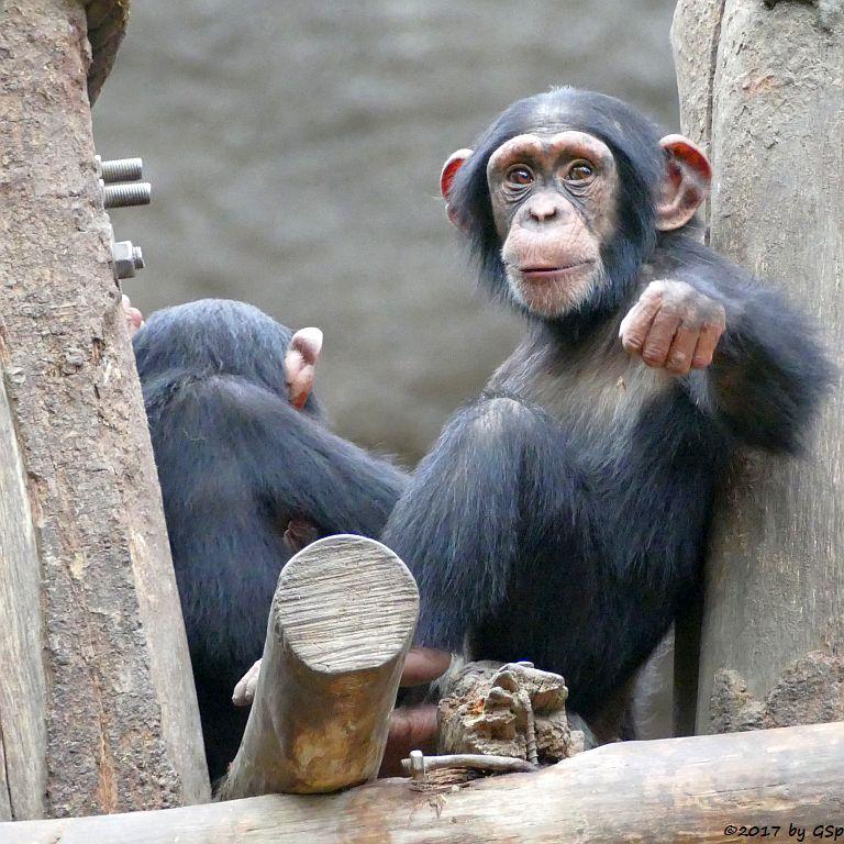 SchimpanseSchimpanse