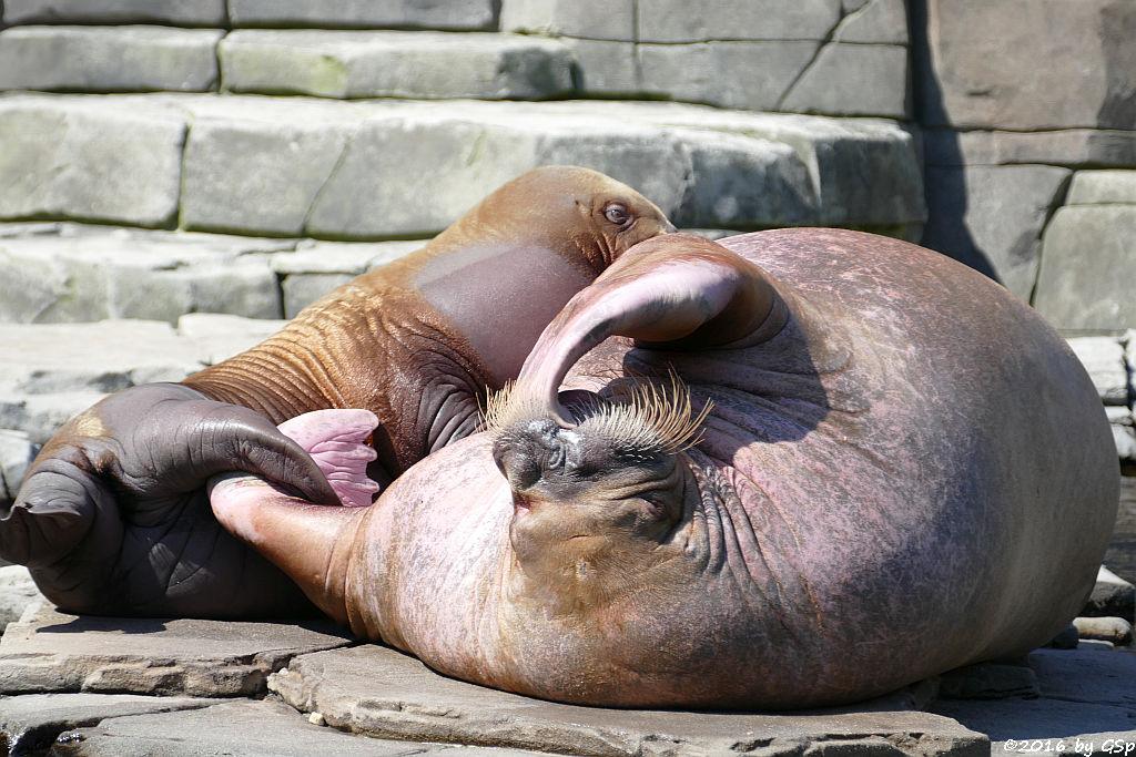 Pazifisches Walross LOKI, geb. am 5.6.15 mit Mama POLOSA