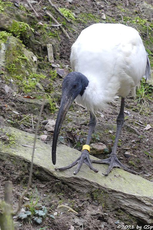 Schwarzkopfibis (Schwarzhalsibis)