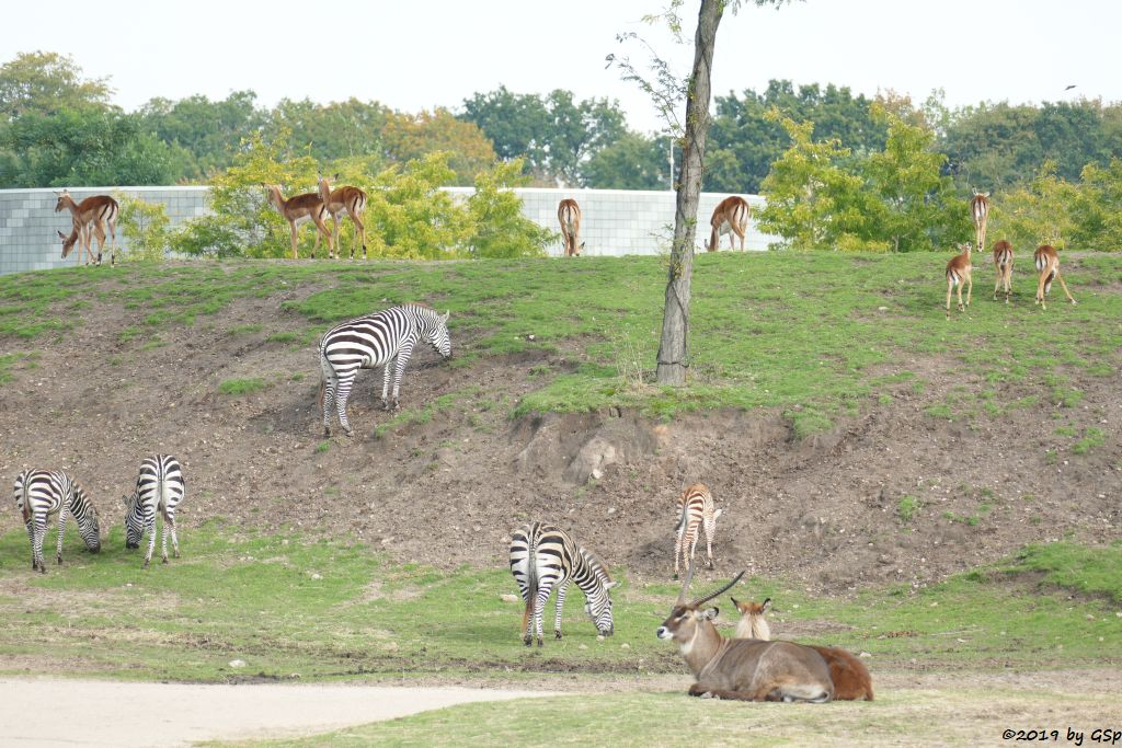 Böhm-Steppenzebra (Grantzebra), Gewöhnliche Impala (Schwarzfersenantilope), Defassa-Wasserbock (Roter Wasserbock)