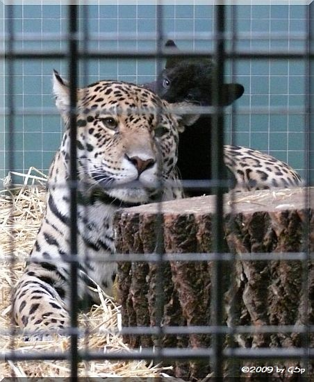 Jaguar mit Jungtier (geb. am 17.09.09)