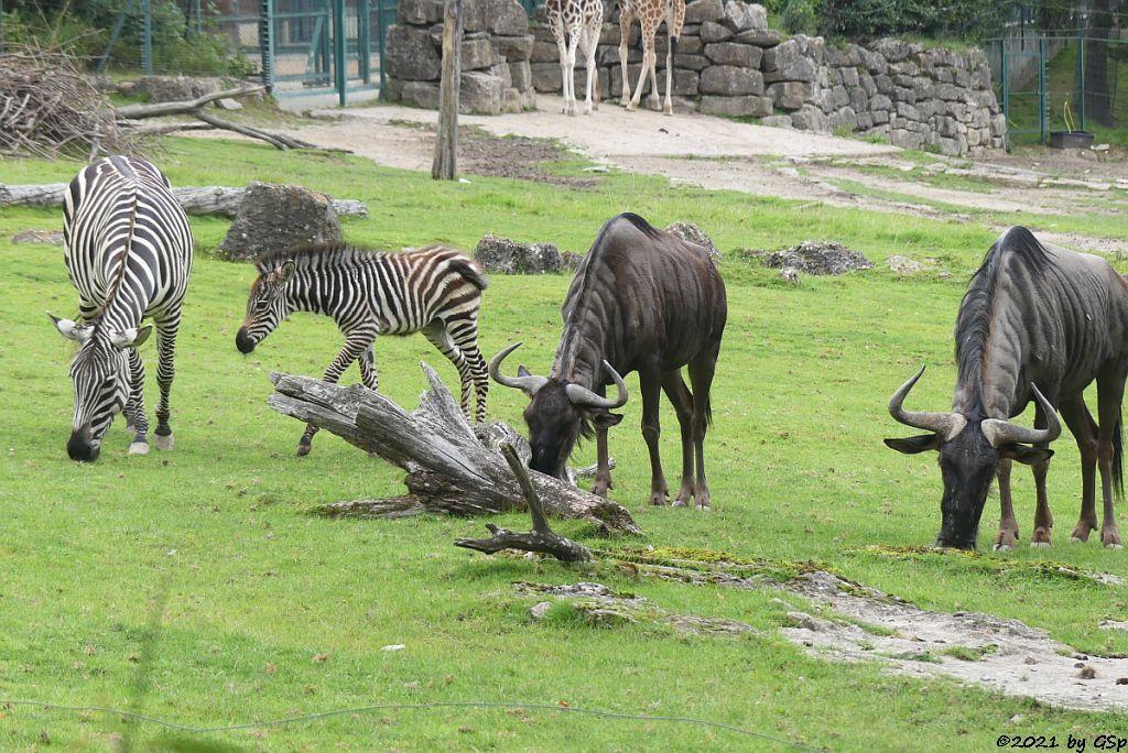 Böhm-Steppenzebra (Grant-Zebra) HELENA mit Tochter BAKARI, geb. 21.8.21, Südliches Streifengnu (Blaues Gnu)