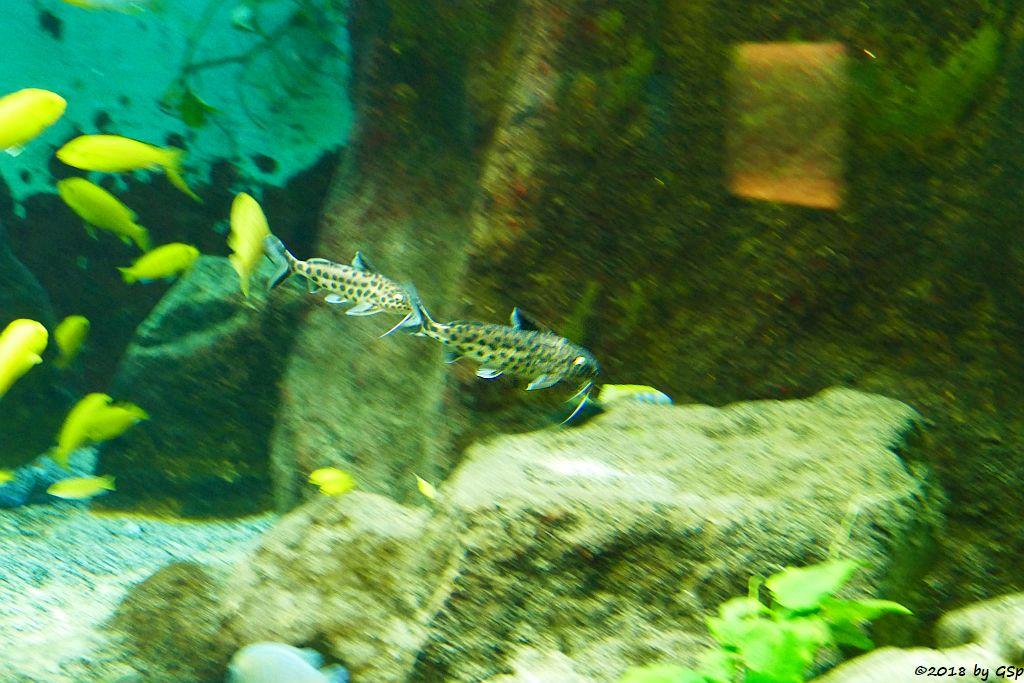 Kleiner Leopard-Fiederbartwels (Falscher Kuckucks-Fiederbartwels)