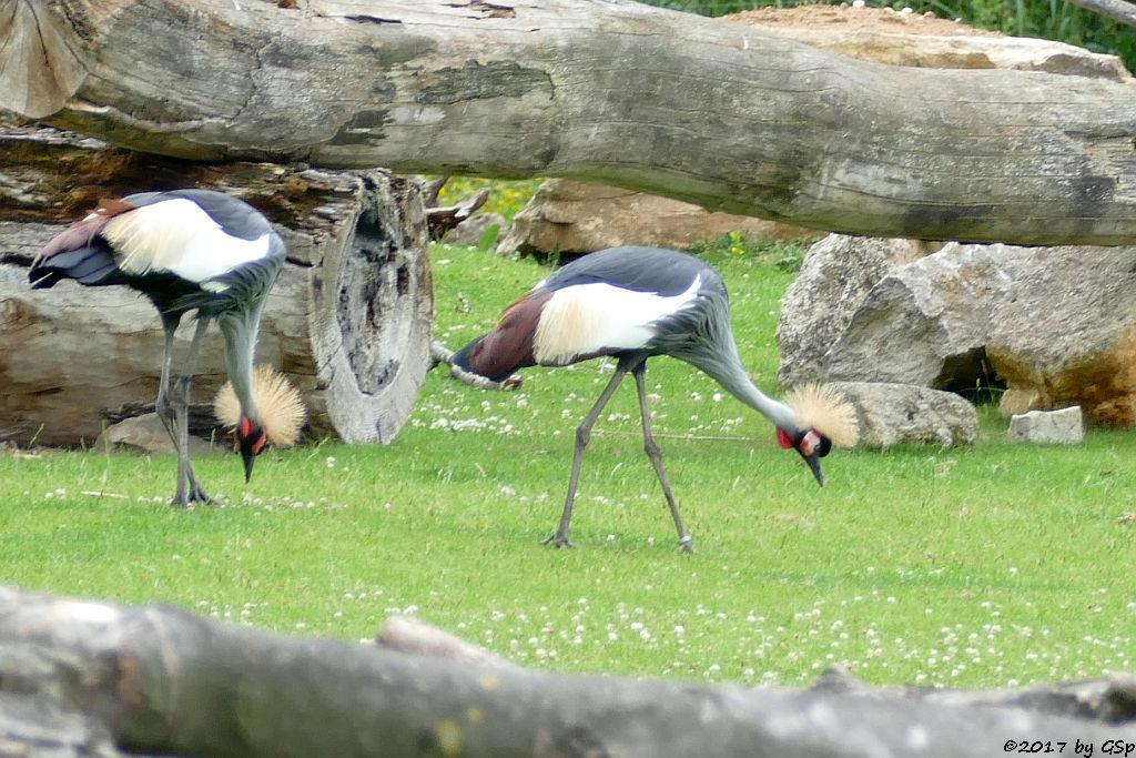 Südafrikanischer Kronenkranich