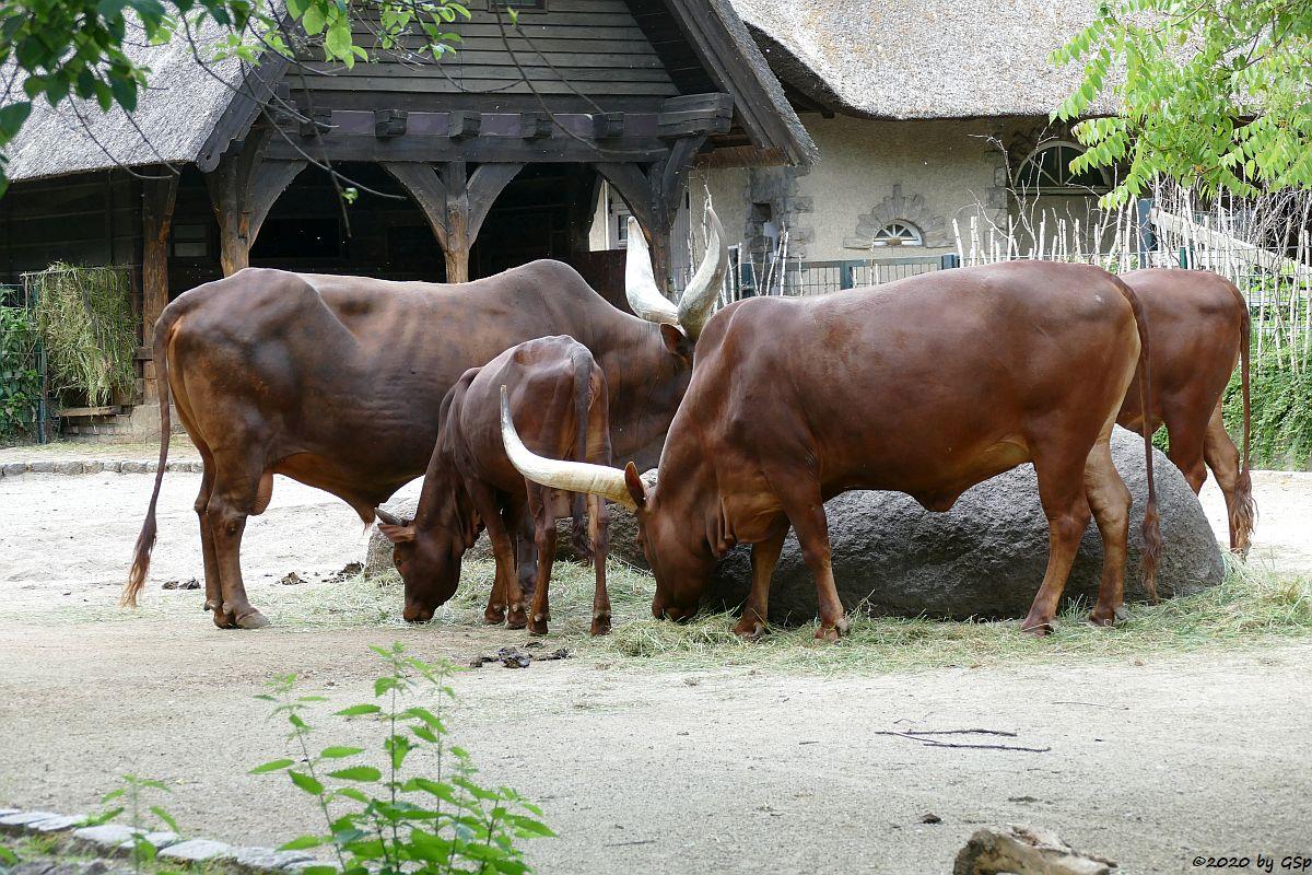 Watussi-Rind (Ankole, Ankolerind)