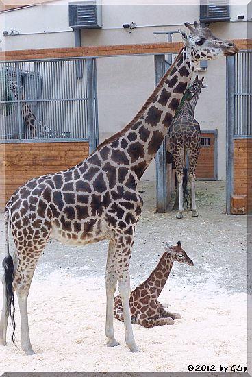 Rothschild-Giraffe LARA