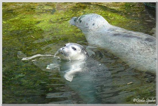 Seehund m. Jungtier vom Juli 08