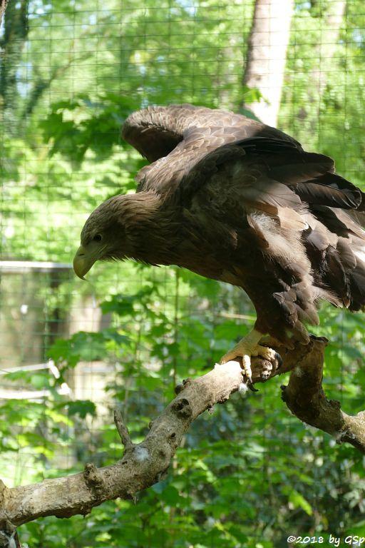 Seeadler (Europäischer Seeadler)