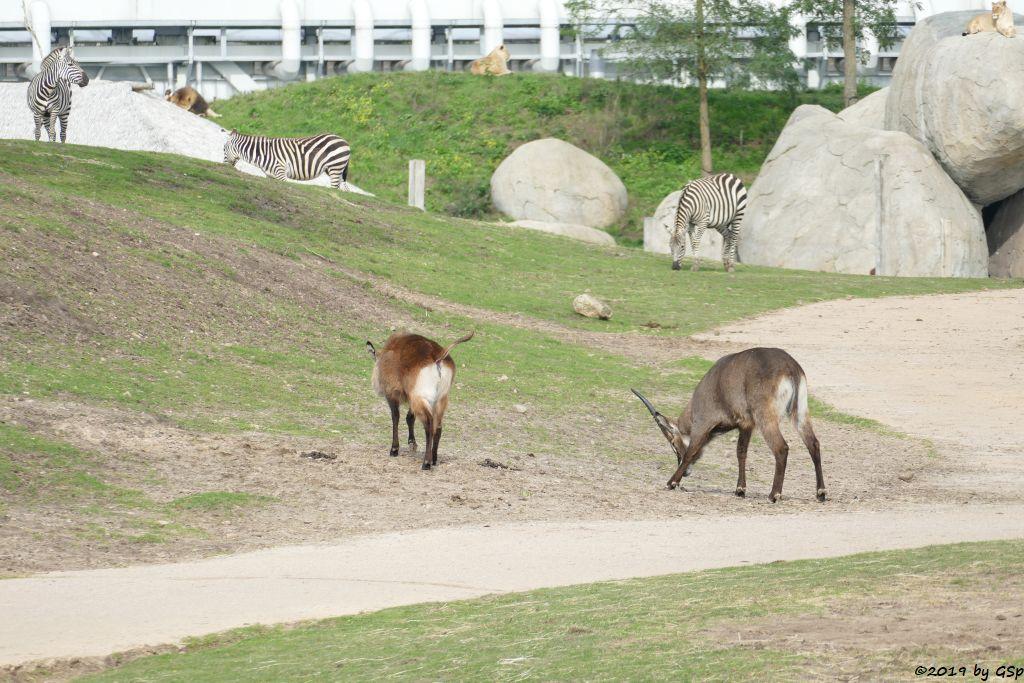 Defassa-Wasserbock (Roter Wasserbock), Böhm-Steppenzebra (Grant-Zebra), Löwe