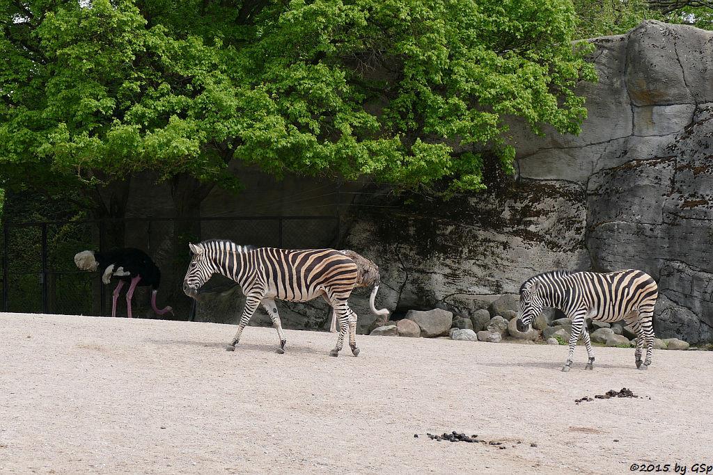 Nordafrikanischer Stauß (Rothalsstrauß), Chapman-Zebra