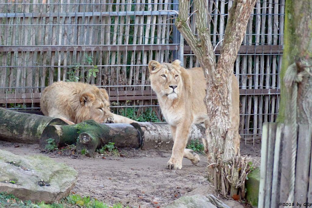 Asiatische Löwen (Indische Löwen) NAVIN und GINA