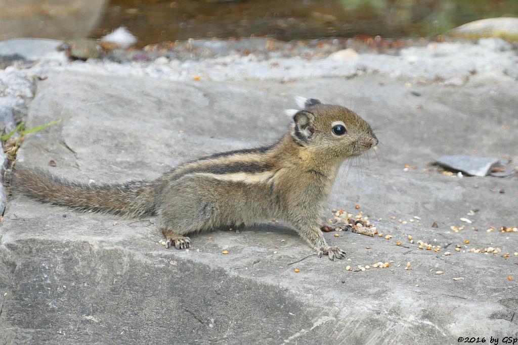 Chinesisches Zwergstreifenhörnchen (Chinesisches Baumhörnchen)