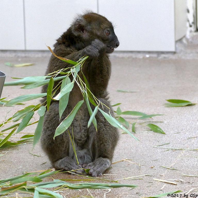 Großer Bambuslemur (Breitschnauzen-Halbmaki)