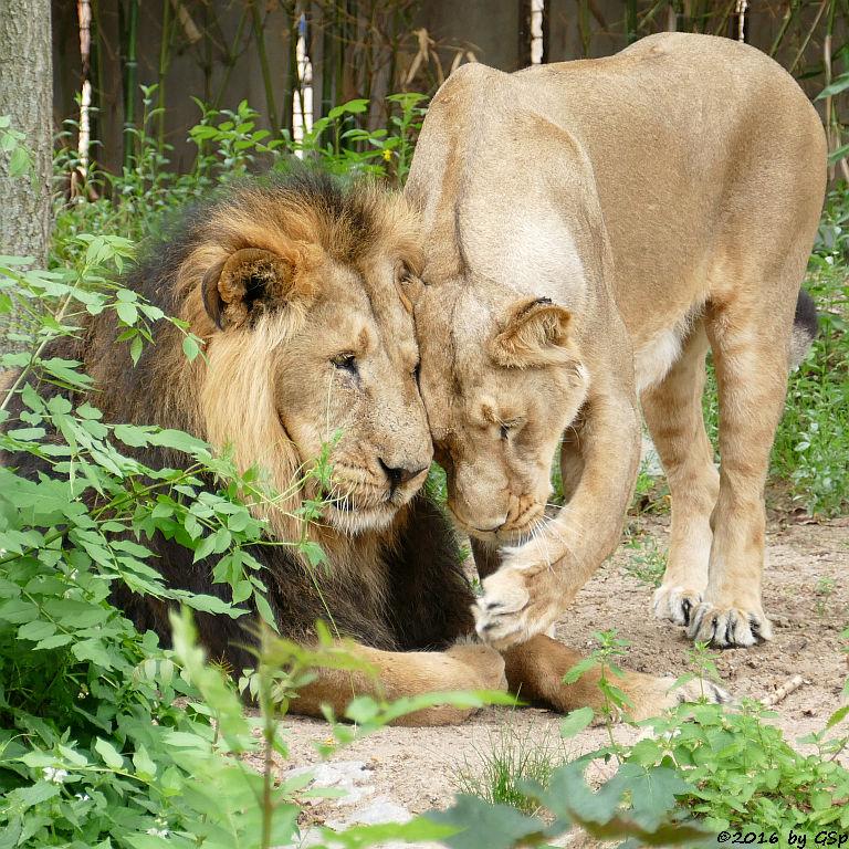Indische Löwen KASCHI und ZARINA