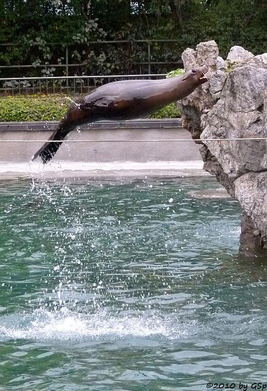 Kalifornischer Seelöwe AMELIE