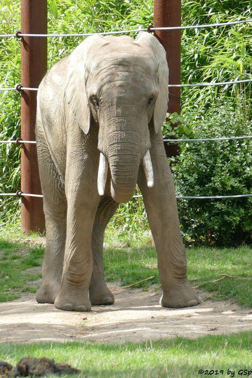 Afrikanischer Elefant TAMO