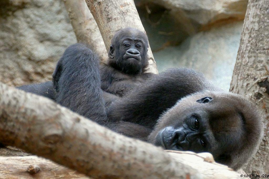 Flachlandgorilla SHIRA mit Tochter WELA, geb. 15.9.16 (13 Monate alt)