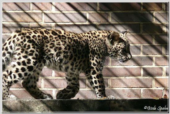 Persischer Leopard, geb. im April 2008 (ca. 5 Mon. alt)