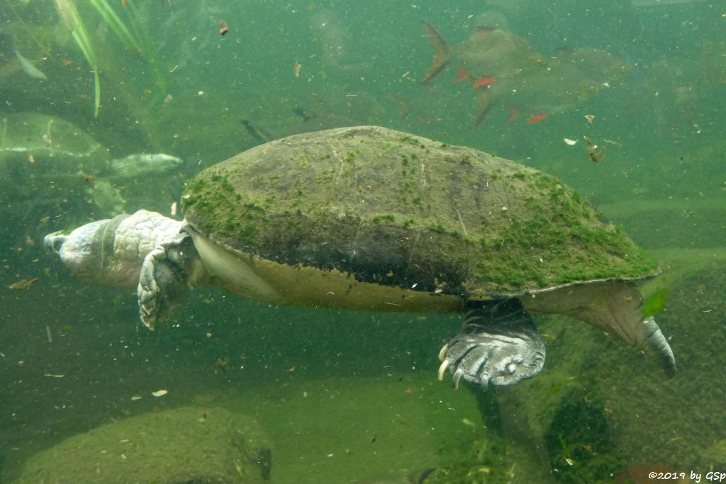 Tempelschildkröte
