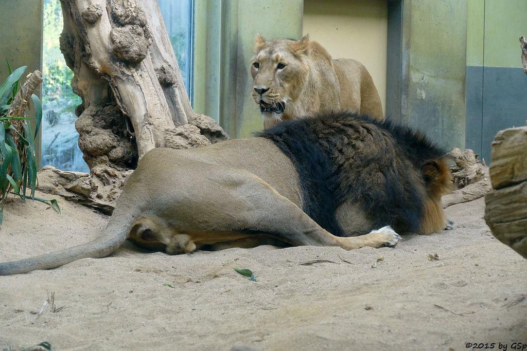 Indische Löwen ZARINA und KASCHI