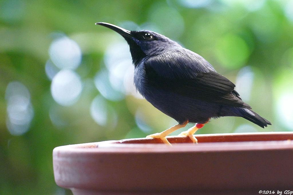 Purpurnaschvogel (Gelbfußhonigsauger)