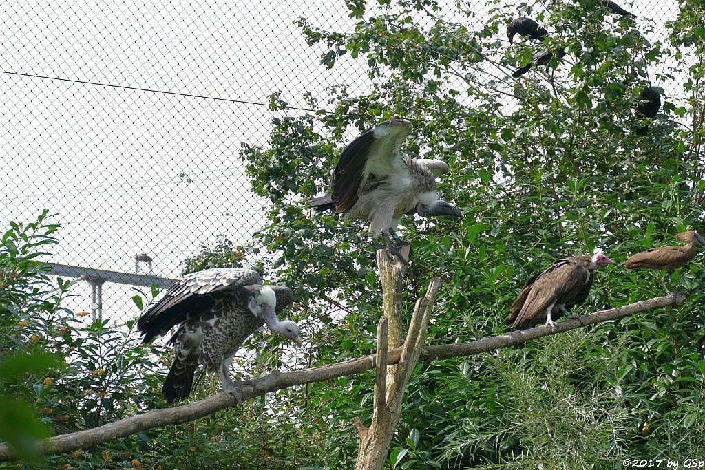 Sperbergeier (Rüppellgeier), Weißrückengeier (Zwerggänsegeier), Kappengeier, Hammerkopf (Schattenvogel)