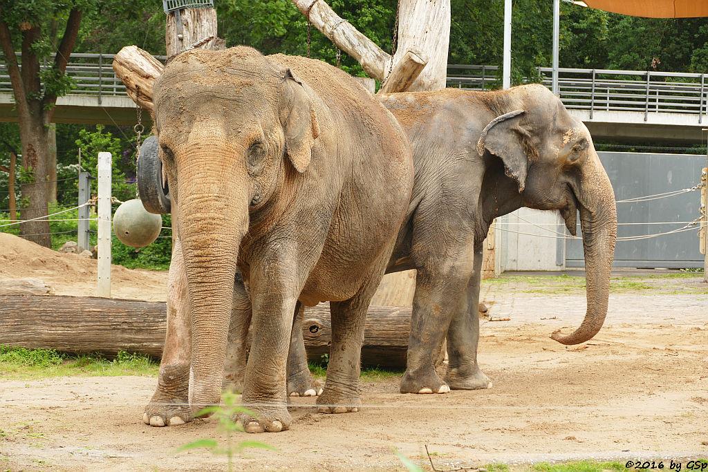 Asiatischer Elefant SHANTI und RANI