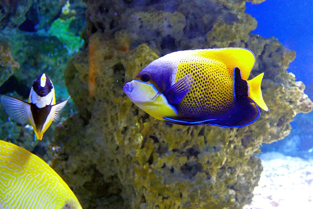 Gelbes Fuchsgesicht (Gelbes Dachsgesicht), Traumkaiserfisch (Blaugürtel-Kaiserfisch)