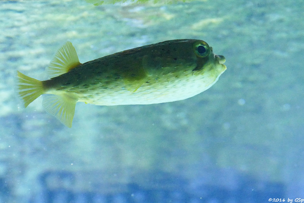 Braunflecken-Igelfisch (Ballonigelfisch, Langstachel-Igelfisch)