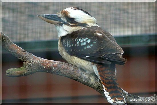 Kookaburra (Lachender Hans)