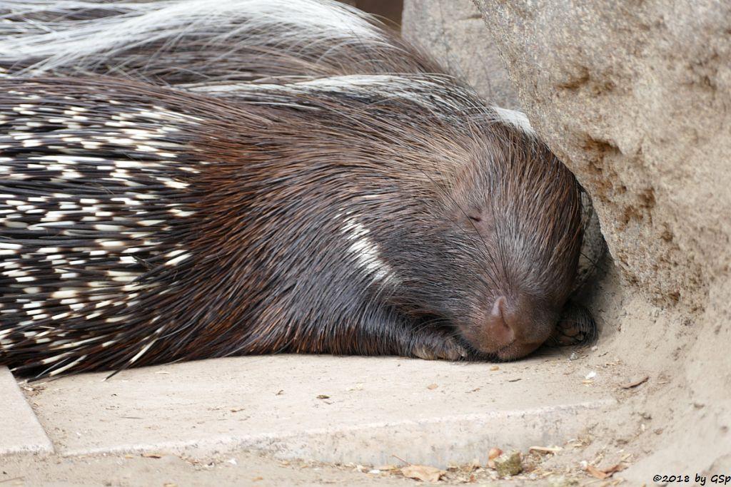 Südafrikanisches Stachelschwein (Kap-Stachelschwein)