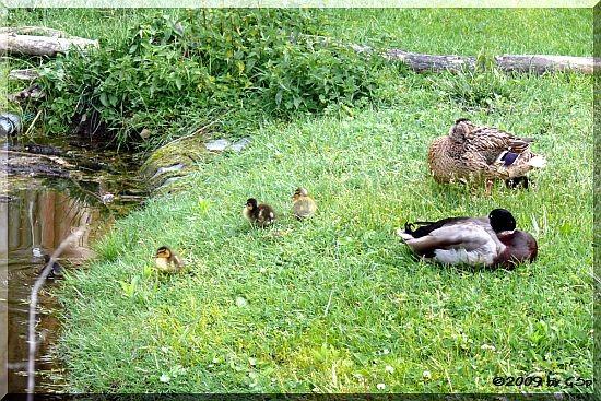 Stockenten-Familie