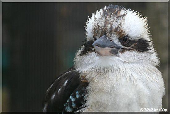 Kookaburra (Lachender Hans