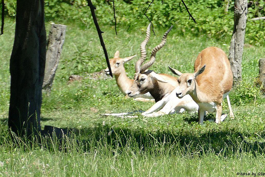 Hirschziegenantilope (Sasin)