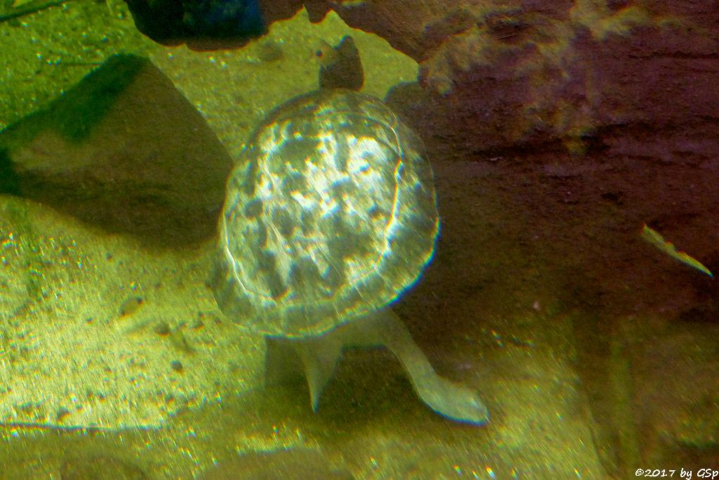 Callagurschildkröte