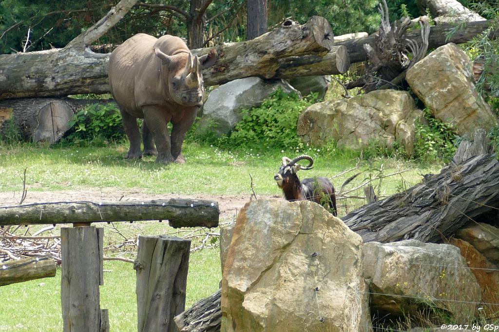 (Spitzlippennashorn, Doppelnashorn), Weißnacken-Moorantilope (Mrs. Grays Wasserbock)
