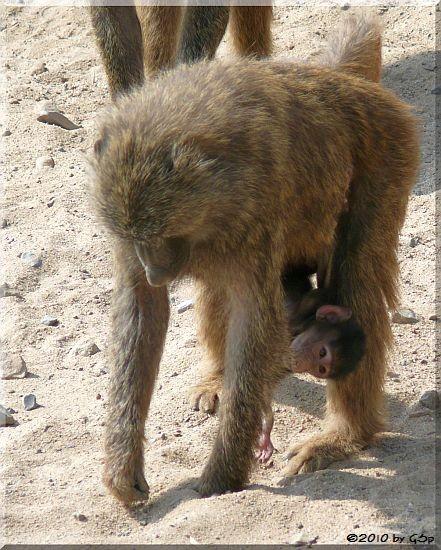 Anubis- (Grüner) Pavian