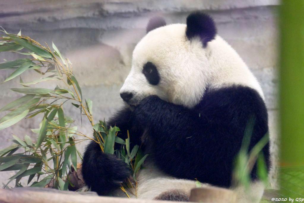 Großer Panda (Riesenpanda, Bambusbär) MENG MENG