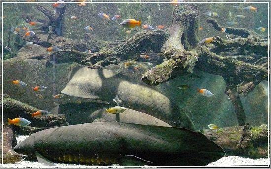 Australischer Lungenfisch und Regenbogenfisch