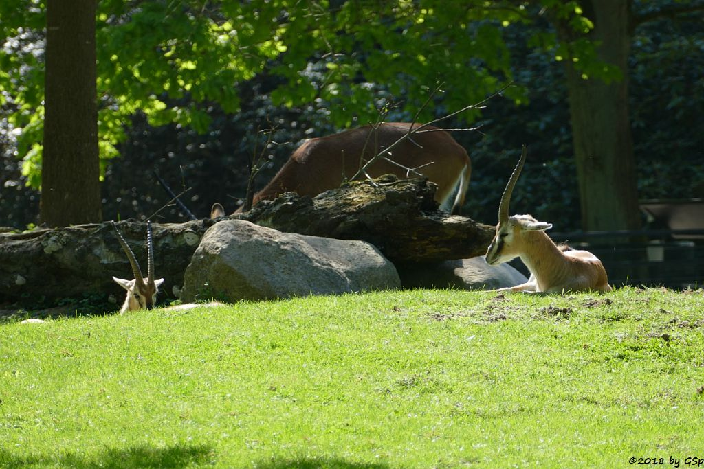 Thomsongazelle, Pferdeantilope