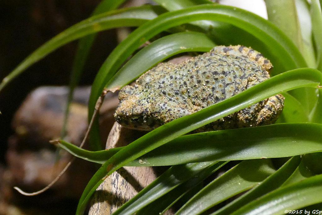 Grüne Zwergkröte