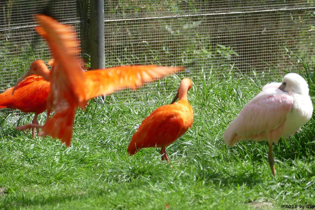 Roter Sichler (Scharlachsichler, Rotibis), Rosalöffler