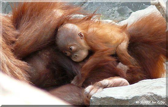 Sumatra-Orang-Utan 2007/08 - 52 Fotos