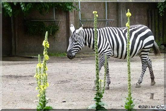 Nördliches Steppenzebra (Sudanzebra)