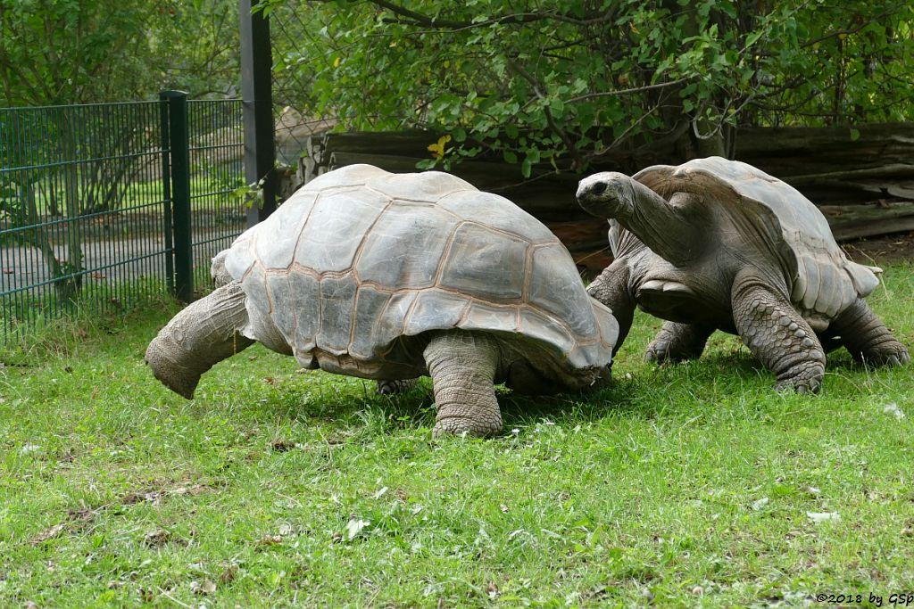 Aldabra-Riesenschildkröte (Seychellen-Riesenschildkröte)