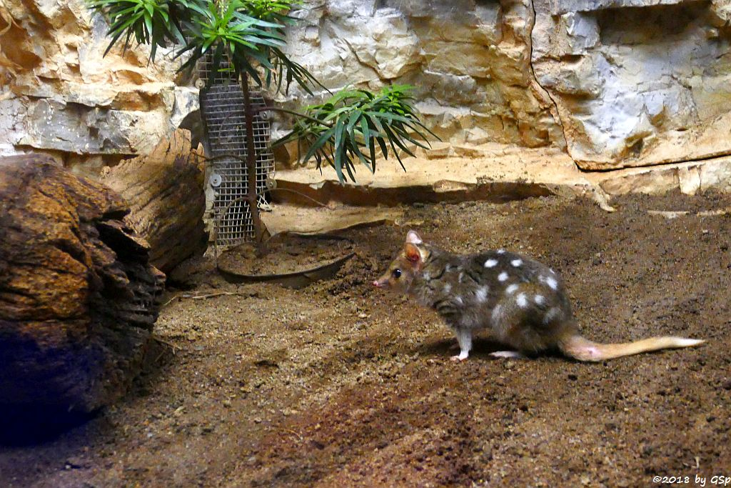 Tüpfelbeutelmarder (Östlicher Beutlmarder, Ostquoll)
