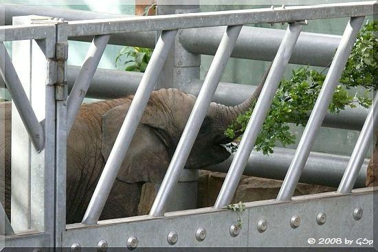 Afrikanischer Elefant THABO UMASAI