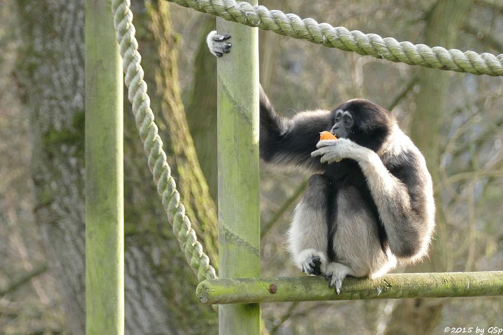 Gibbon-Mischling
