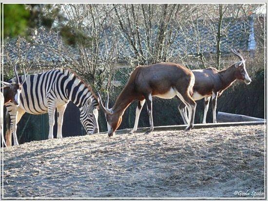 Damara-Zebra und Blessbock