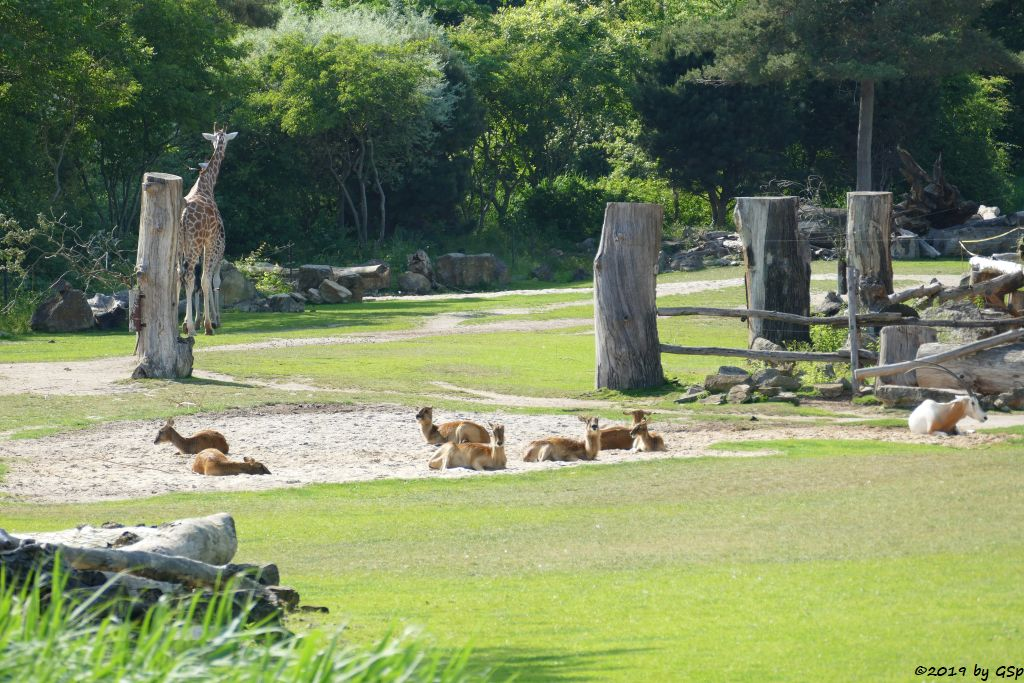Weißnacken-Moorantilope (Mrs. Grays Wasserbock), Rothschildgiraffe (Uganda-Giraffe, Baringo-Giraffe), Säbelantilope